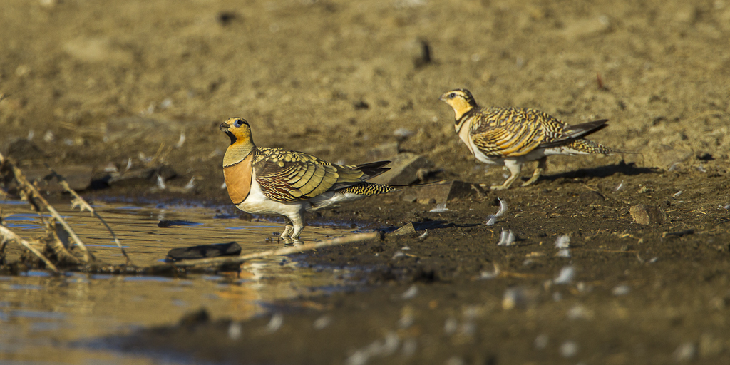 Image of Pin-tailed sandgrouse