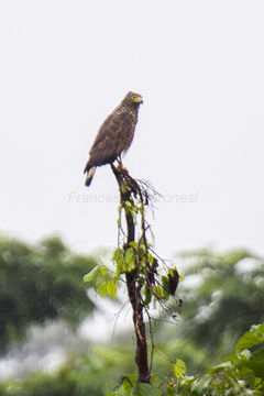 Image of Philippine Serpent Eagle