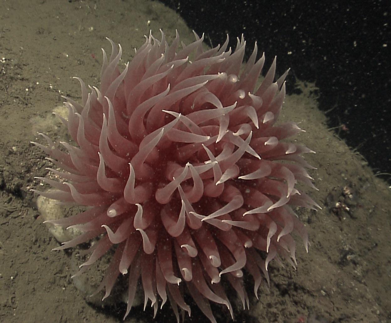 Image of tentacle shedding anemone