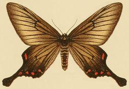 Image of <i>Epicopeia hainesii</i> Holland 1889