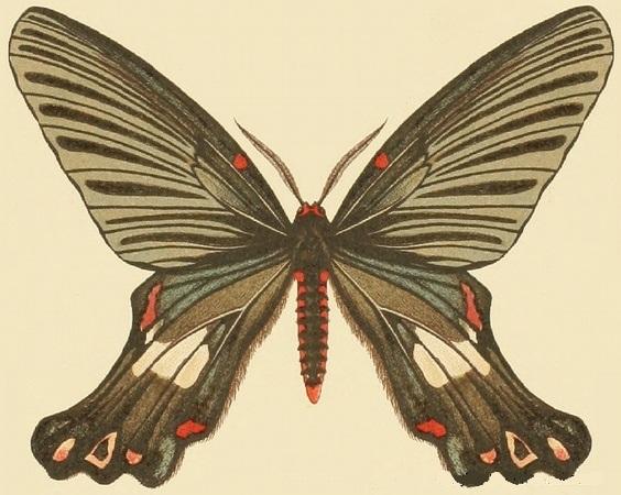 Image of Epicopeia