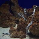 Image of Ornate Reef Sea Snake