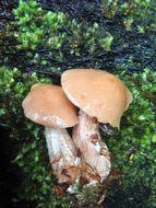 Image of Rhodocollybia