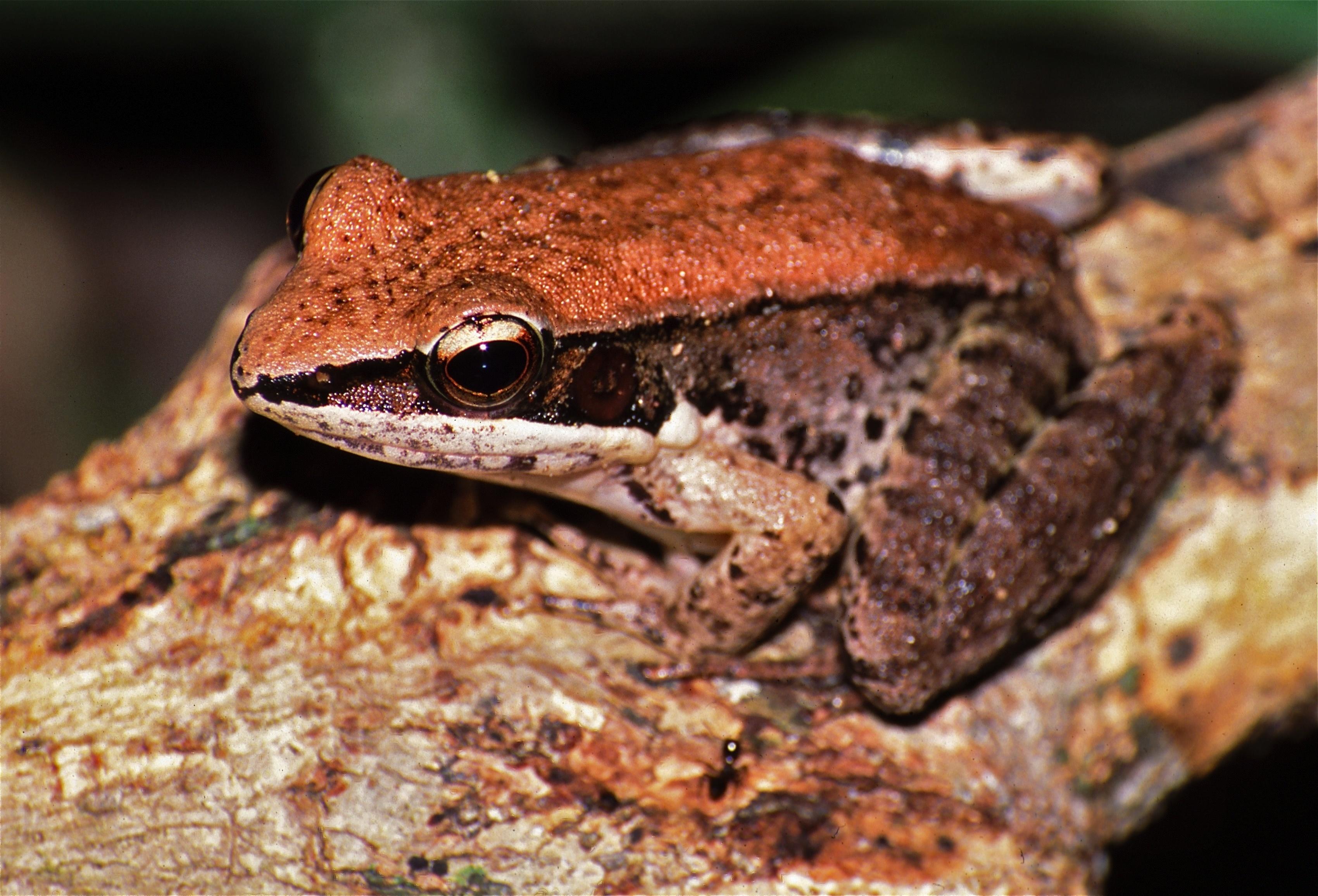 Image of <i>Hylarana nigrovittata</i>