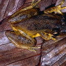 Image of Red Snouted Treefrog
