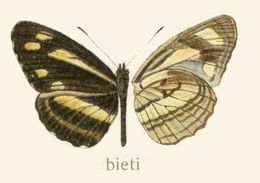 Image of <i>Pantoporia bieti</i> Oberthür 1894