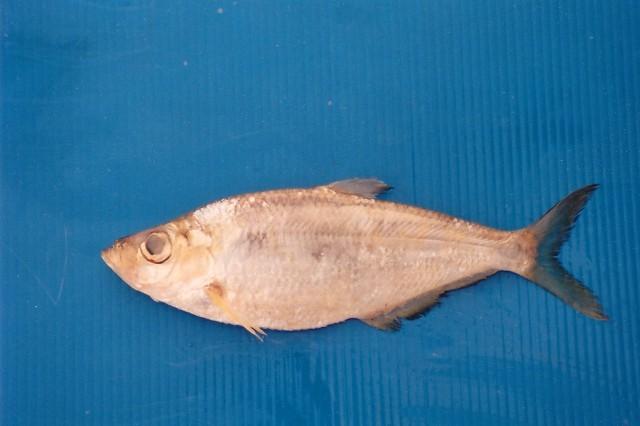Image of Elongate ilisha