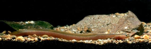 Image of African Mottled Eel