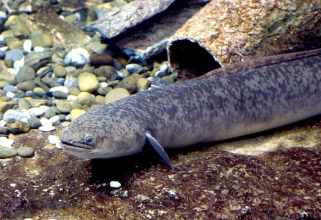Image of Giant Long-finned Eel
