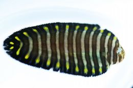 Image of Dark thick-rayed sole
