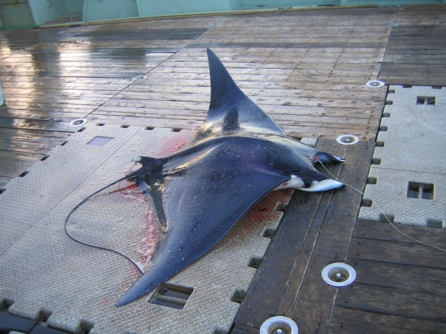 Image of Devilray