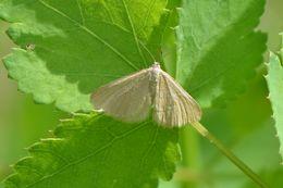 Image of Drab looper moth