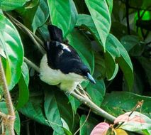Image of Large-billed Puffback