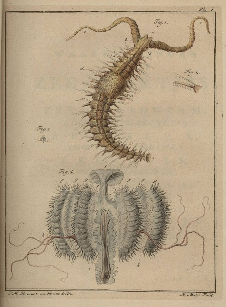 Image of <i>Polydora cilliata</i>