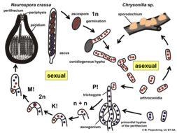 Image of Neurospora