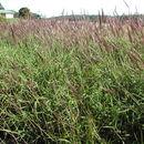 Image of molasses grass