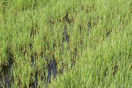 Image of torpedo grass