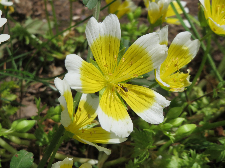 Image of Douglas' Meadowfoam