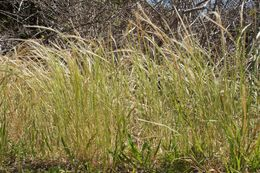 Image of rat's-tail fescue