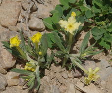 Image of Fringed puccoon