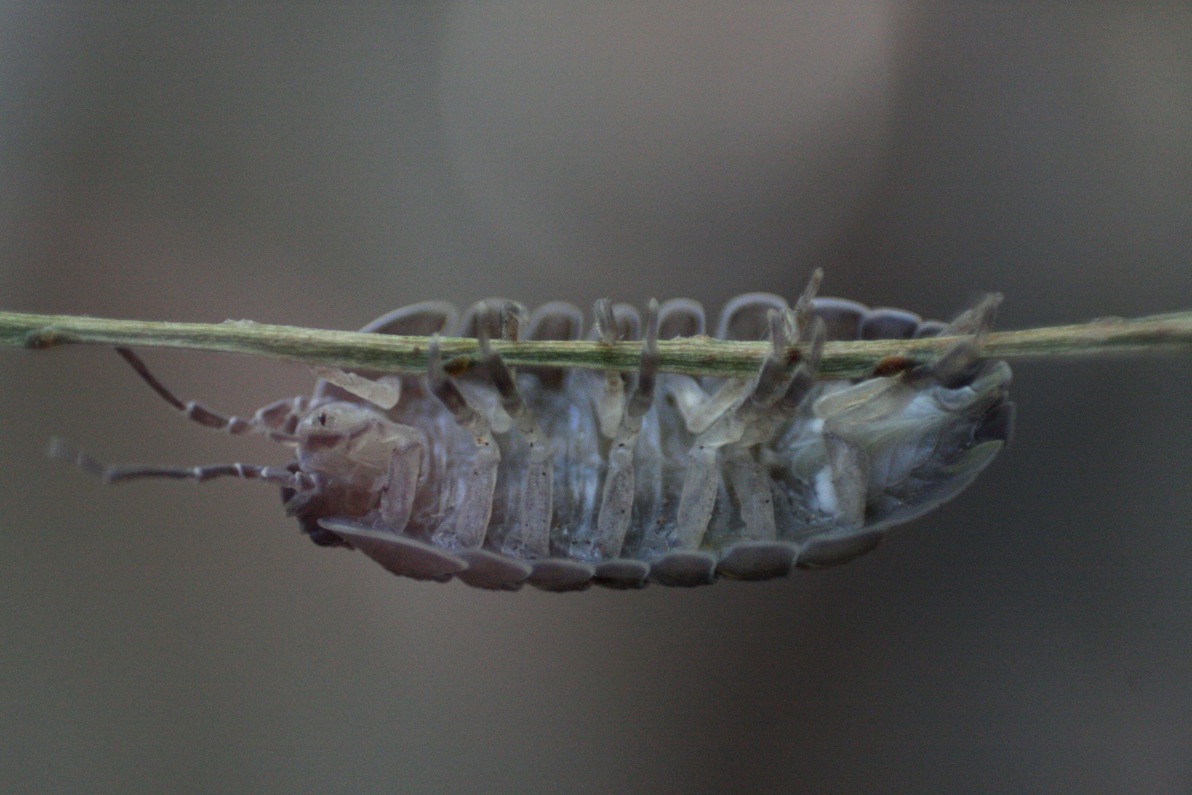 Image of Armadillidium