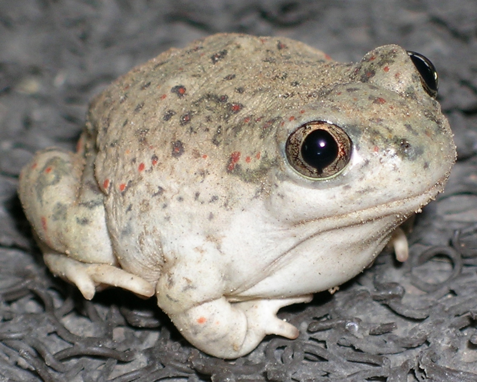 Image of New Mexico Spadefoot