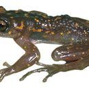 Image of Williams bright-eyed frog