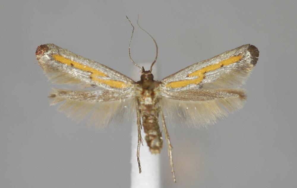 Image of <i>Ochromolopis ictella</i> Hübner 1813