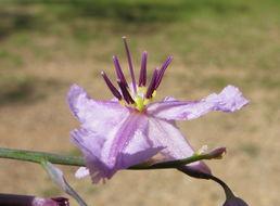 Image of <i>Dichopogon strictus</i> (R. Br.) Baker