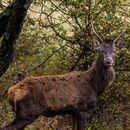 Image of Barbary stag