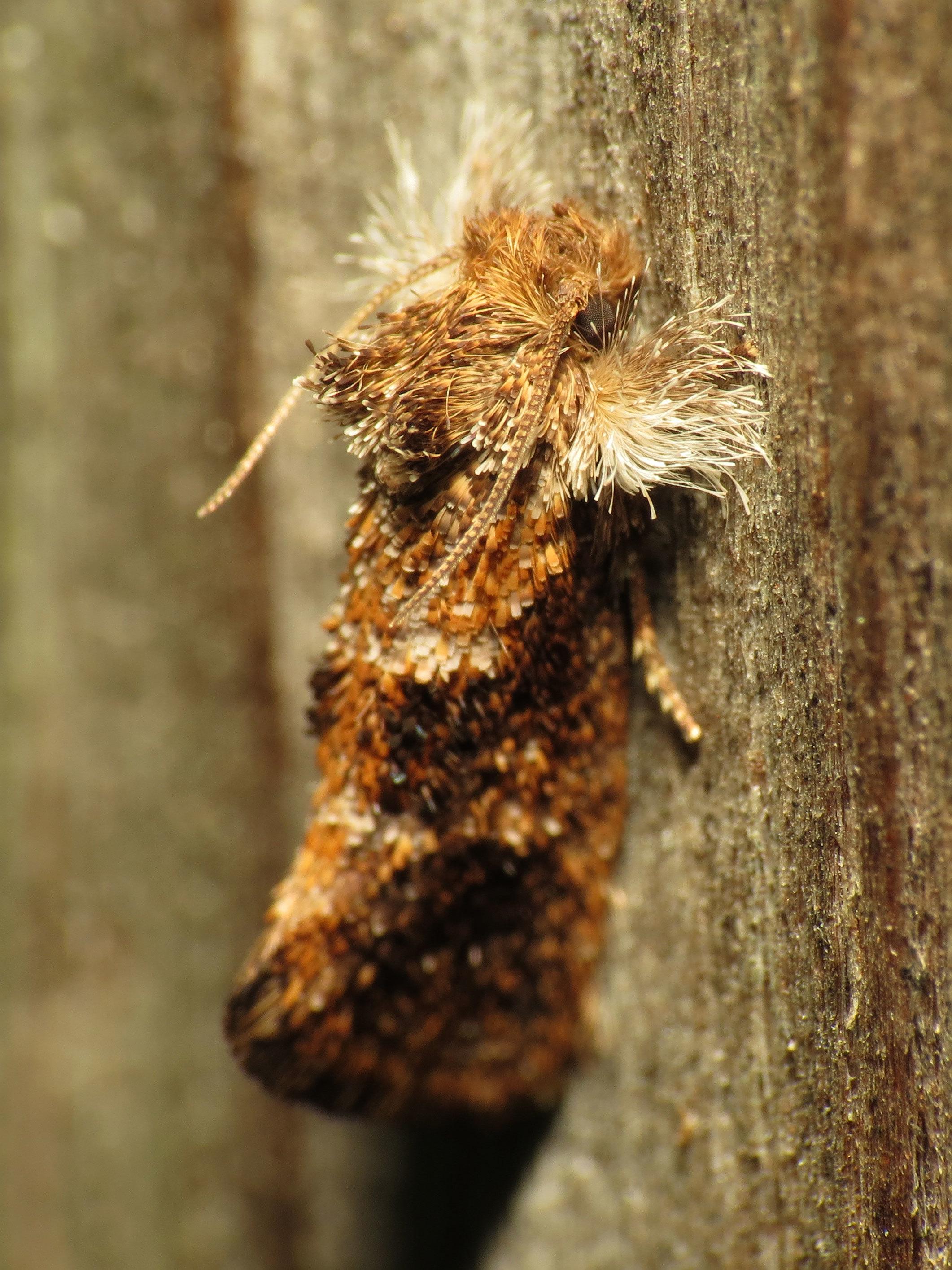 Image of <i>Acrolophus panamae</i>