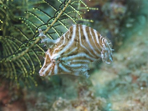 Image of Flower-coral Filefish