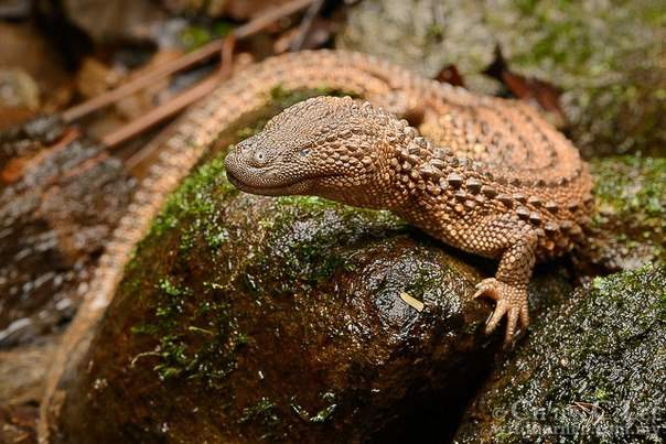 Image of Earless Monitor Lizard
