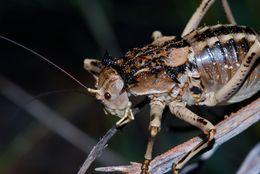 Image of Antlered Thorny Katydid