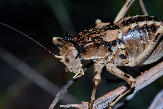 Image of Antlered Thorny Katydid