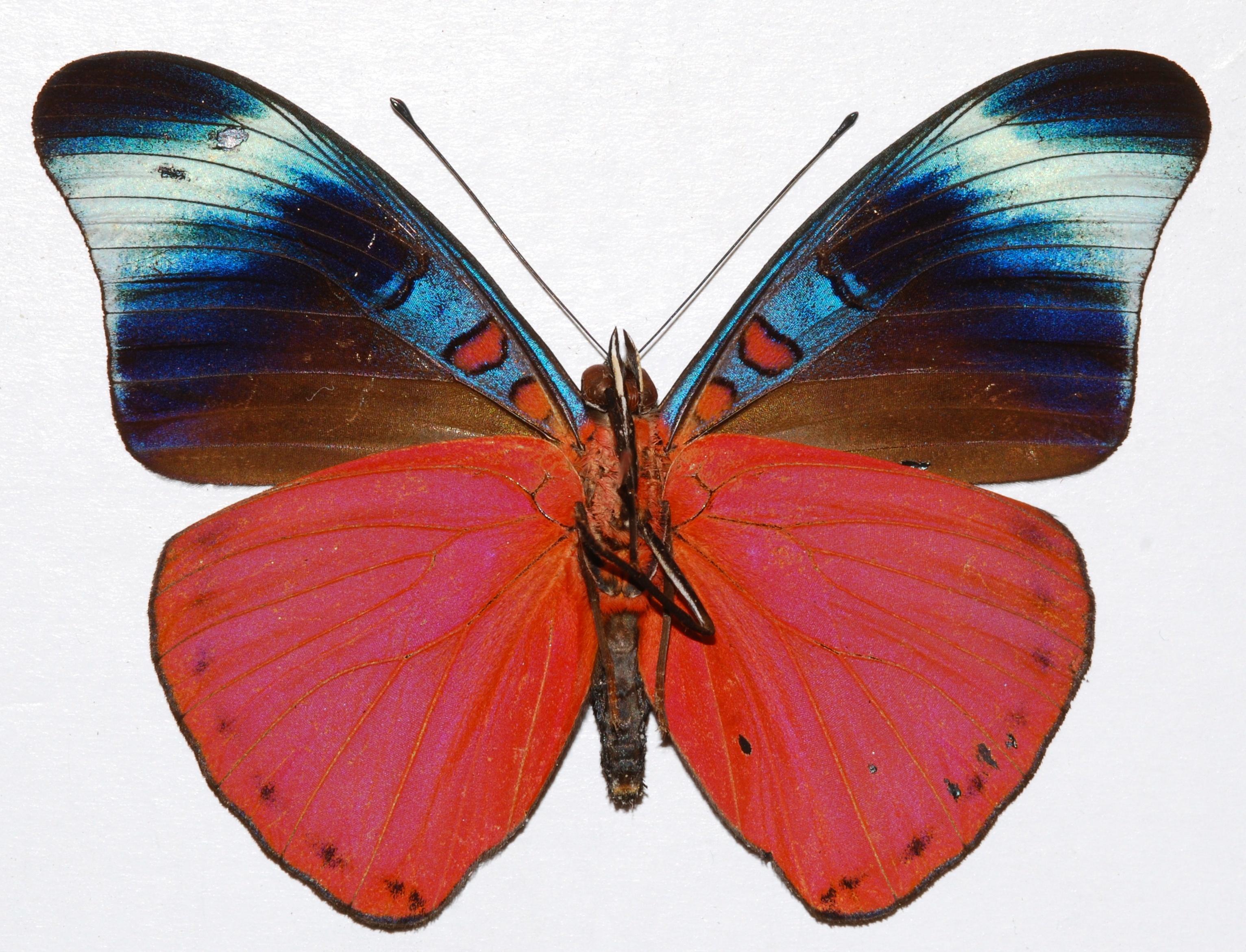 Image of <i>Panacea prola</i> Doubleday (1848)