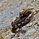 صورة Ropalomeridae