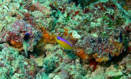 Image of unidentified grey and yellow dottyback