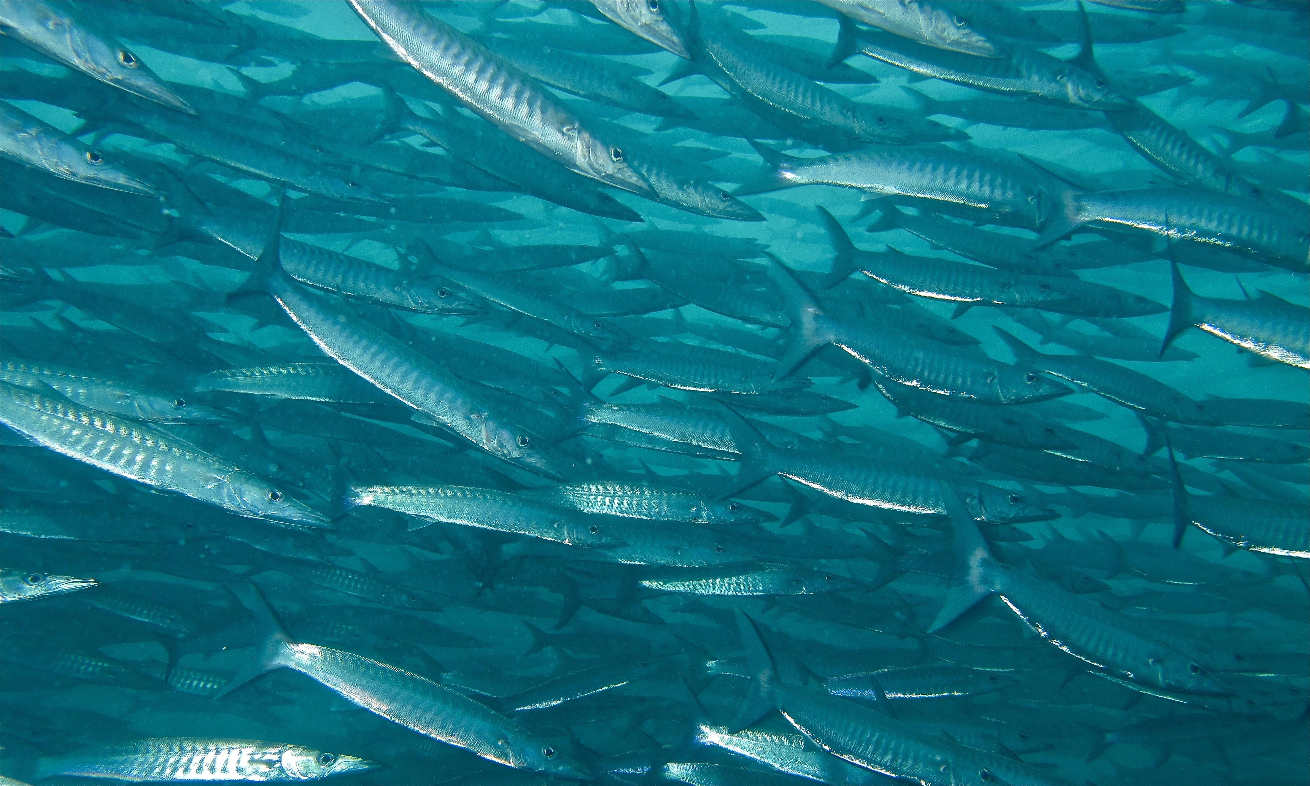 Image of Blackfin barracuda