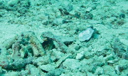 Image of spotfin jawfishes