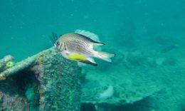 Image of Leucogaster