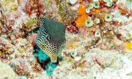 Image of Reticulate boxfish