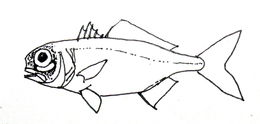 Image of Splitfin flashlightfish