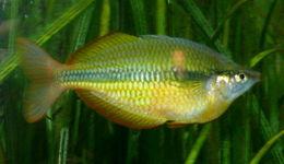 Image of Lake Tebera Rainbowfish