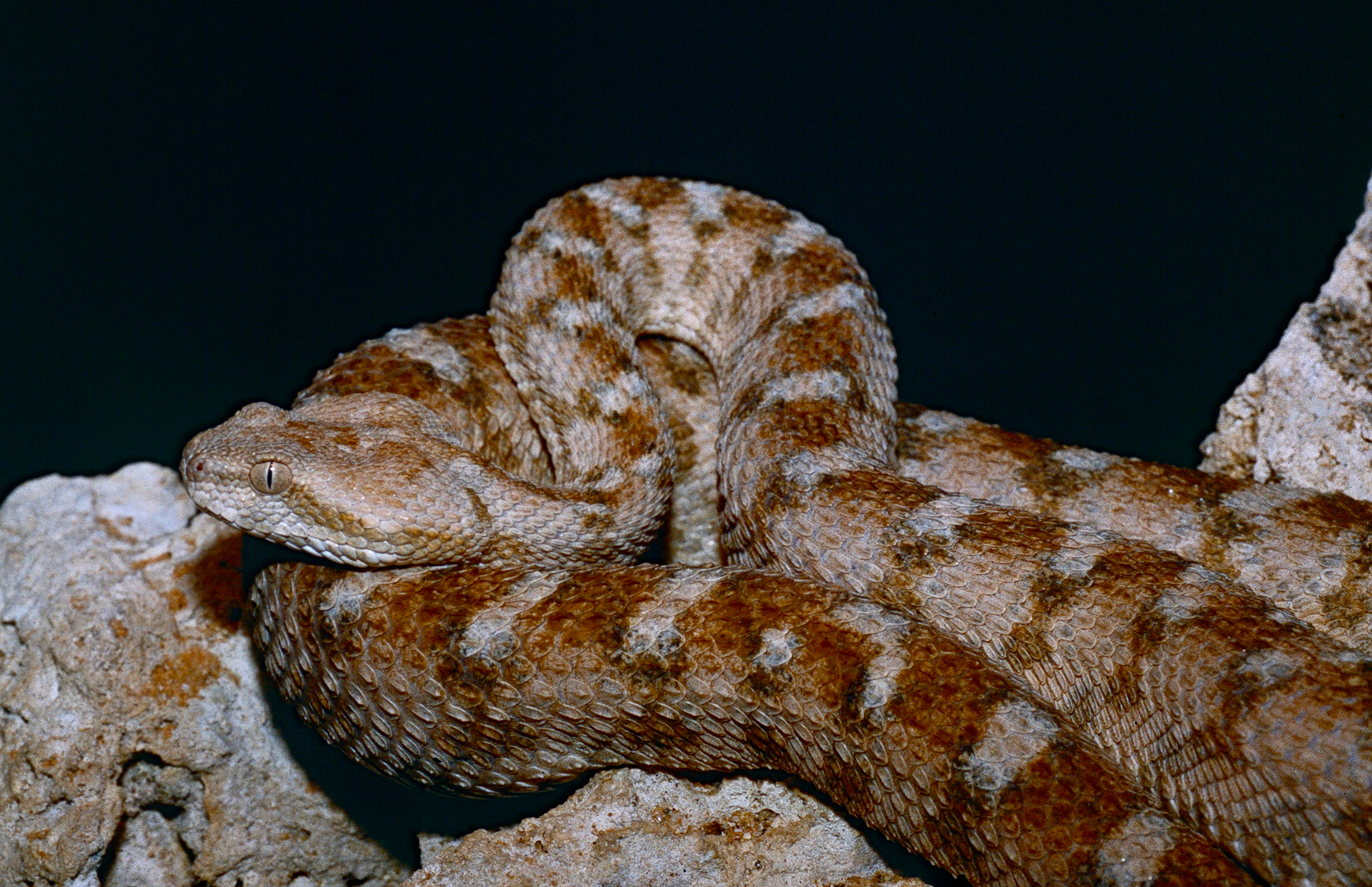 Image of Egyptian Saw-scaled Viper