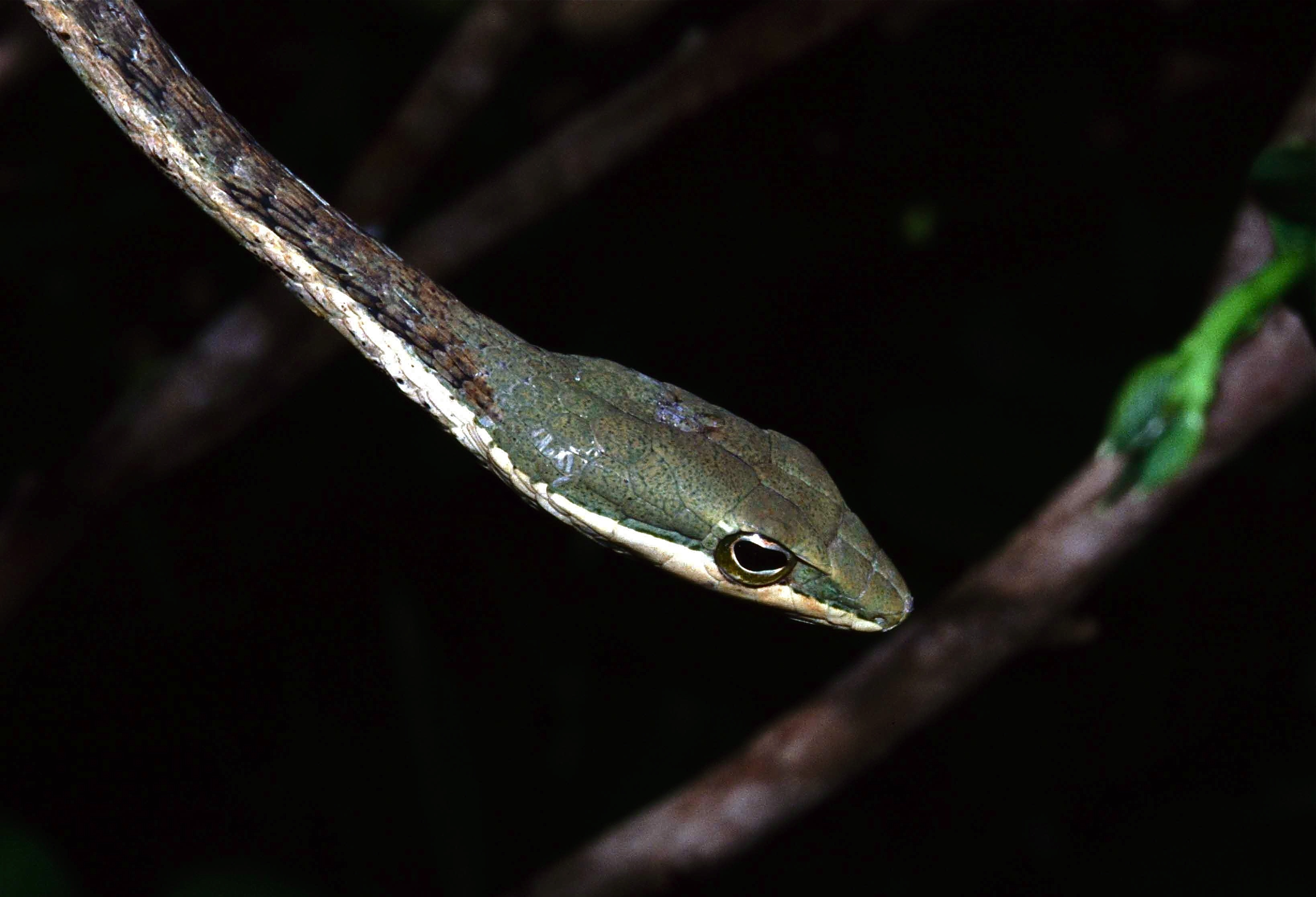 Image of Eastern Twig Snake