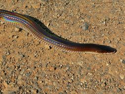 Image of Sunbeam snake