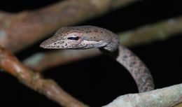 Image of Speckle-headed Whipsnake