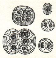 Image of Gloeocapsa