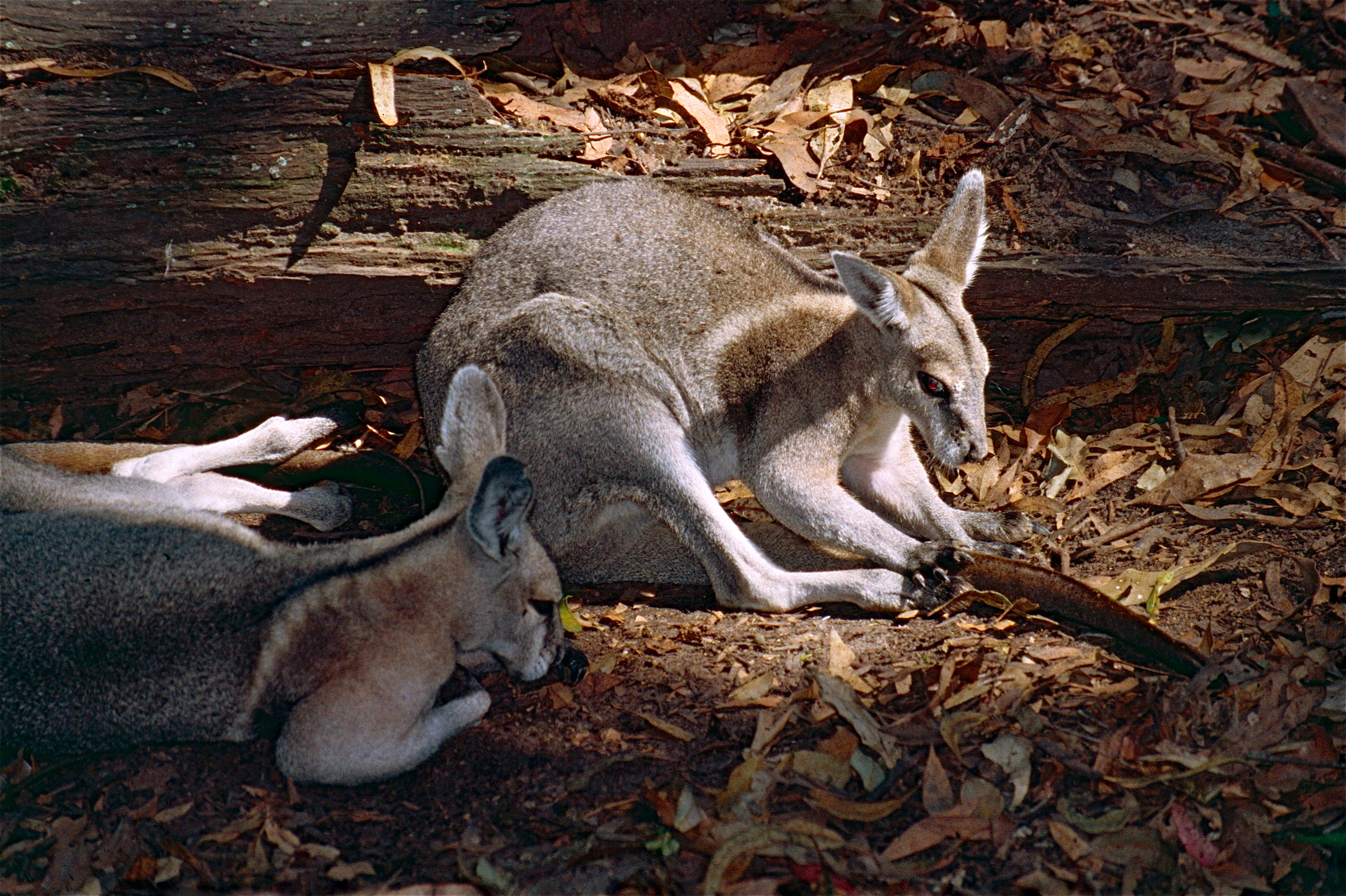 Image of Ridled nail-tailed wallaby